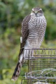 sparrowhawk (2)