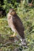 sparrowhawk (3)
