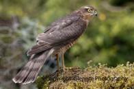 sparrowhawk (8)